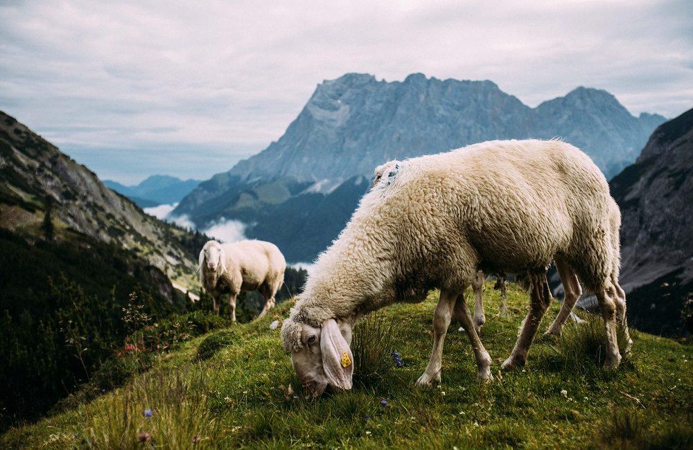 Bergschafe auf der Alpenüberquerung von Garmisch nach Meran
