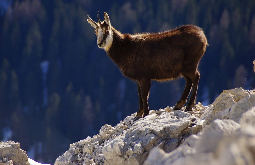 Hurra die Gams - auf jeder Alpenüberquerung fester Bestandteil